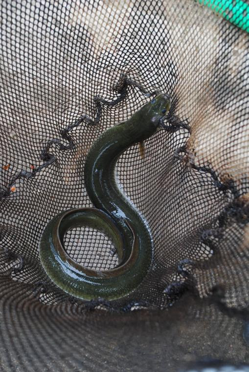 Eel swam more than 3,000 miles to wind up in Kankakee net