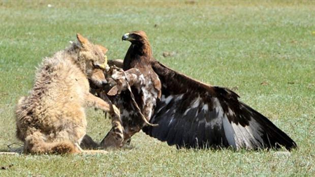 Águia e lobo durante luta (Foto: Vyacheslav Oseledko/AFP)
