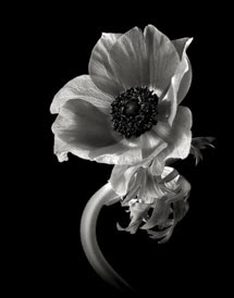 Black And White Flower Portraiture Shutterbug