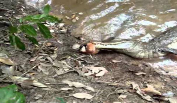 Συγκλονιστικό βίντεο: Kροκόδειλος δάγκωσε ηλεκτροφόρο χέλι και πέθανε!