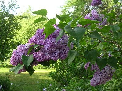 photo lilac-side-view.jpg