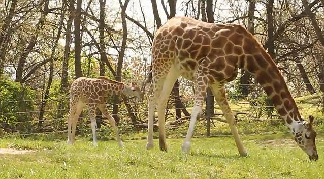 Puiul de girafa si fluturele video imagini adorabile zoo Bronx New York YOUTUBE