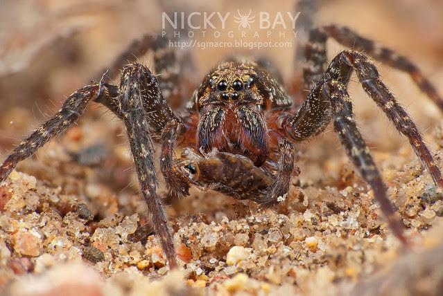 Wandering Spider (Ctenidae) - DSC_9516