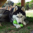 What Type Of Toy Should You Get Your Husky? «  Bama Huskies