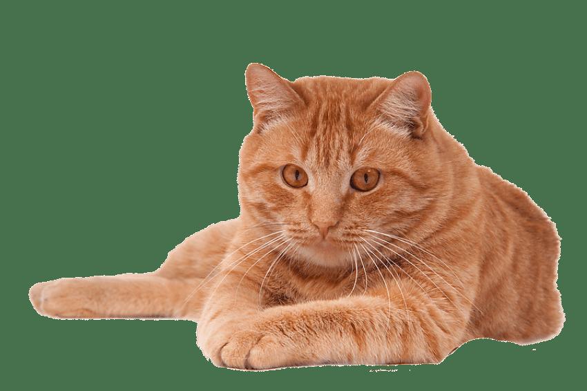 Kitten Birman Portable Network Graphics Transparency Clip ...