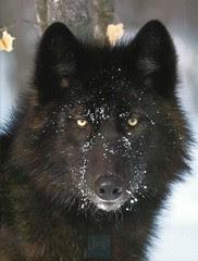 wolf07_black