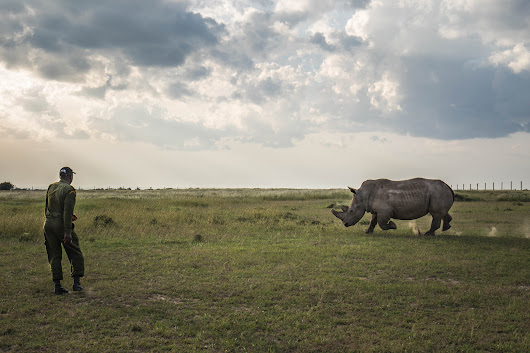 There is nothing we can do now to save the northern white rhino. It's  | Bee-Elle | African Wildlife Photography
