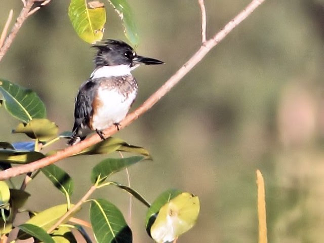 Belted Kingfisher 2-20130130