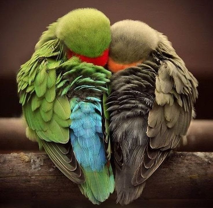 Love Birds....i love this pic how they are curled up in the shape of a heart....thats True Luv...  :-)