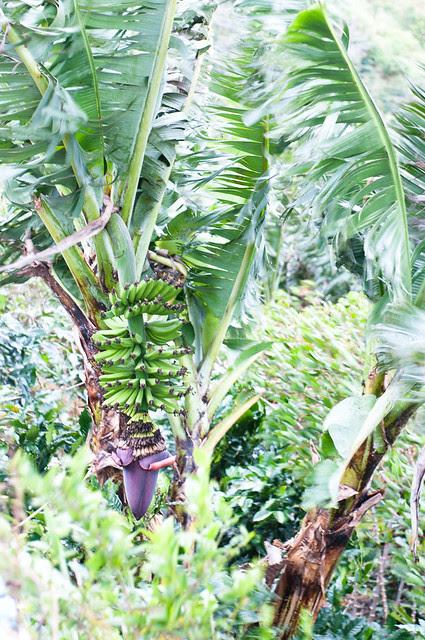 BananaBlossom-9375
