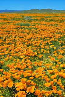 Antelope Valley Poppies