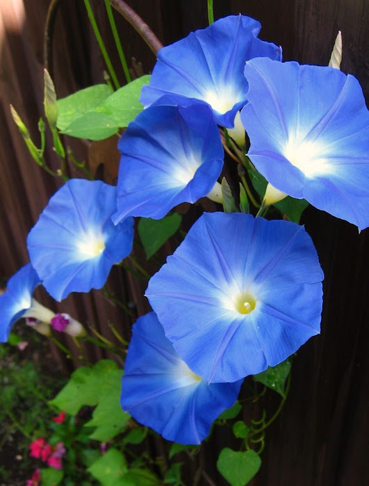 Four Best Blue Flowers - Walpole Outdoors