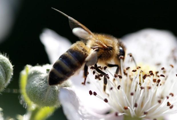 Populações de abelhas estão em perigo na Europa, na Ásia e nas Américas (Foto: AFP Photo / DPA/ Roland Weihrauch)
