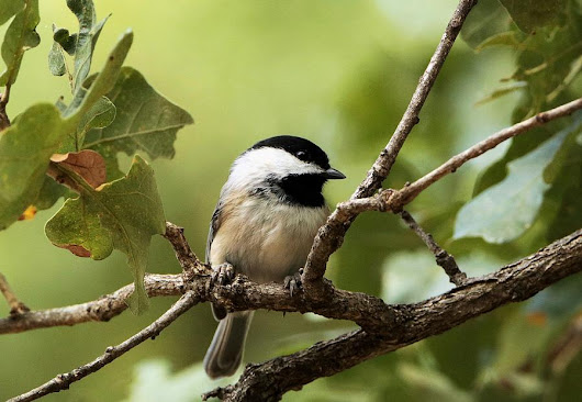 Black Capped Chickadee On Branch by Sheila Brown