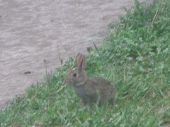 Bunny with a white forehead spot