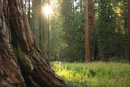 Sunlight in Mariposa Grove