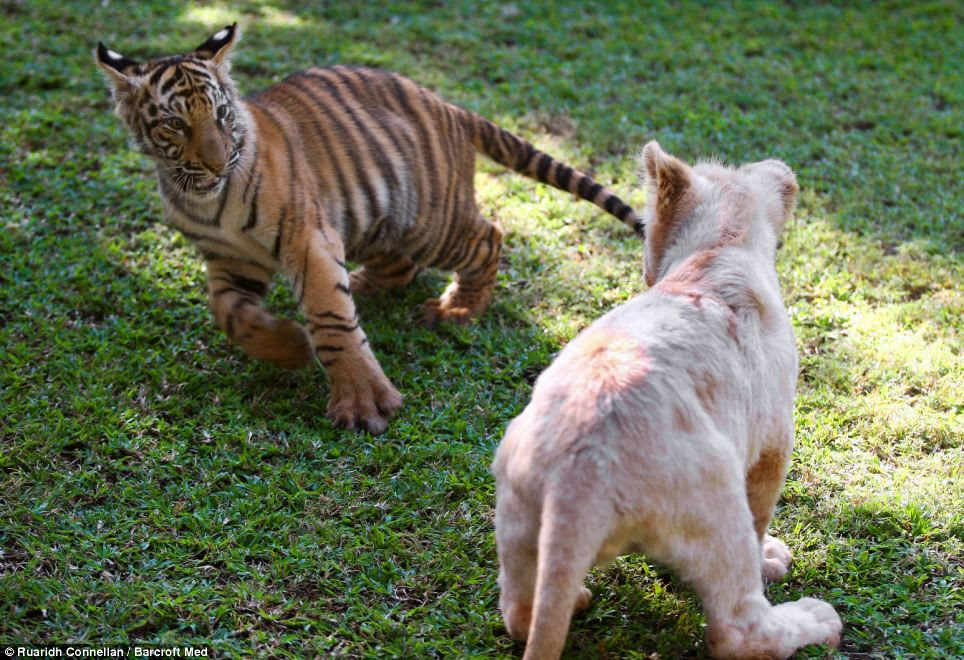Learning from their elders: A tiger cub and lion cub play together at the Akwaaba Lodge in Rustenburg, South Africa