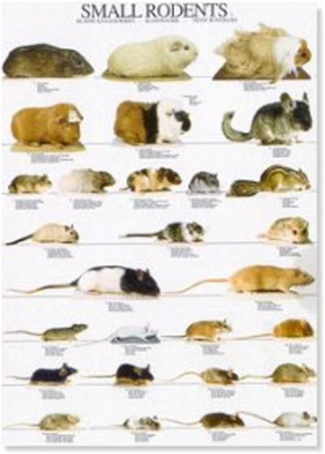 Poster: Rodents #1 : WA Australia Wide Delivery