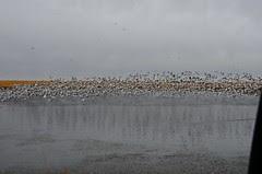 Sask Snow Geese (1)