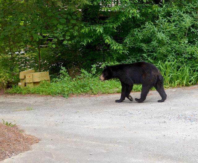 moseying bear