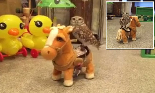 Owl aboard! Tiny owl rides toy horse in adorable video