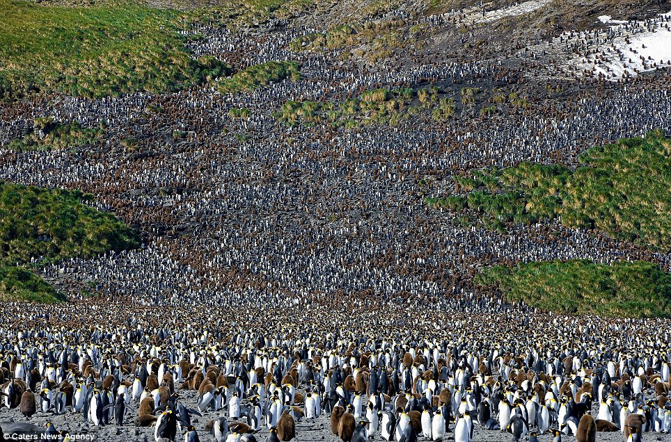 Each year, the king penguin colony at Salisbury Plains, South Georgia, produces an astonishing 50,000 chicks - a number which is on the rise