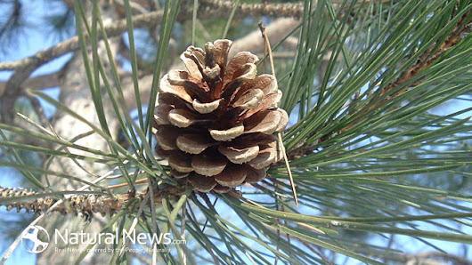 Top 7 Reasons You Should Be Taking Pine Pollen Powder (Hint: it can Boost Libido) - Natural News Blogs