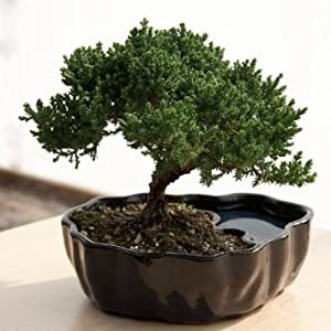 Amazon.com: Zen Reflections Juniper Bonsai: Patio, Lawn & Garden