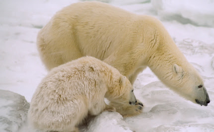 Commonly Used Chemicals Found in Polar Bears' Brains