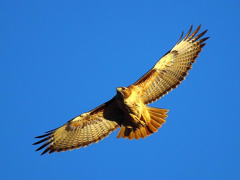 IMG_9004 Red-Tailed Hawk, Sacramento National Wildlife Refuge