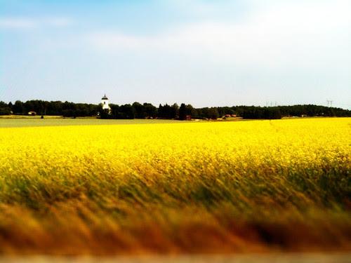 rapeseed field sweden