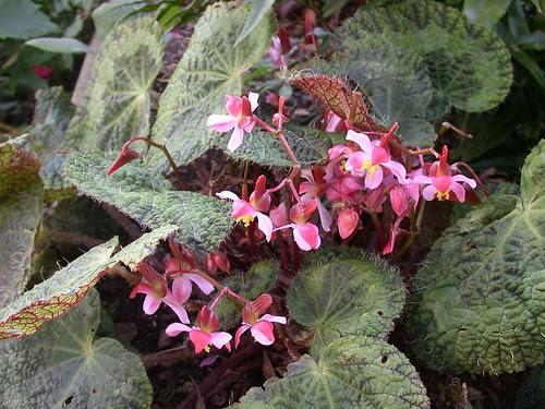 Begonia sizemoreae flowers