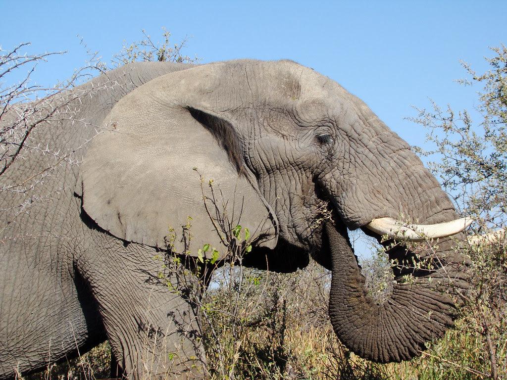 DSC08032 elephant