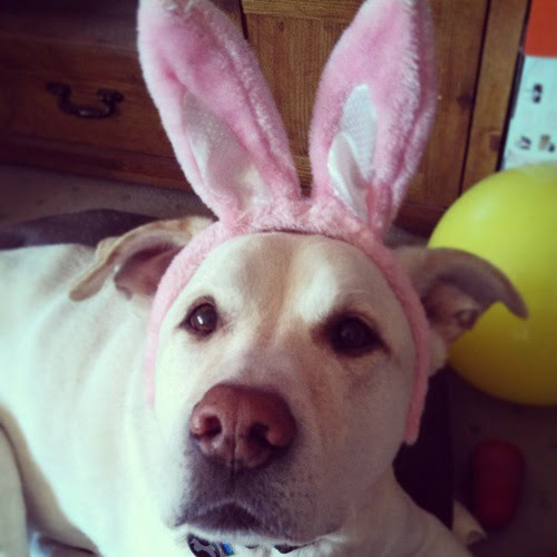 The great #easter #mutt Zeus #love #bigdog #labmix #dogstagram #happydog