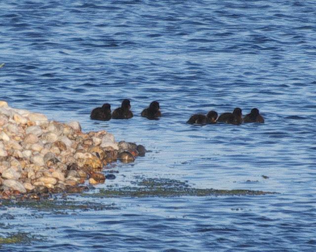 DSC_4304 Ducklings