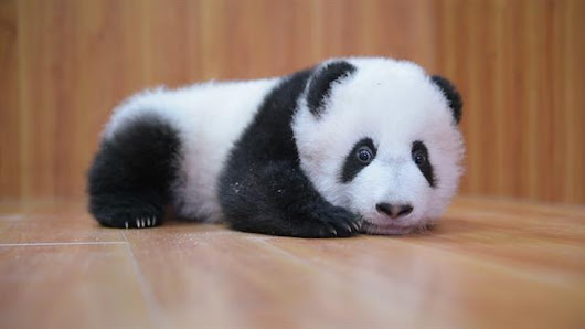 Raising Cute Pandas: It's Complicated