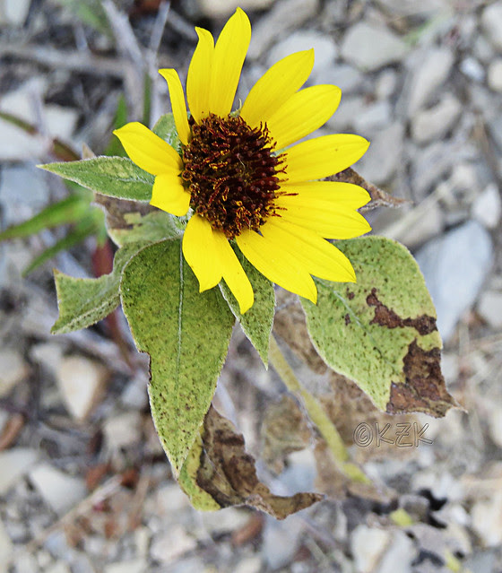 IMG_7895Sunflower