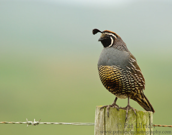 California quail on a fencepost with barbed wire