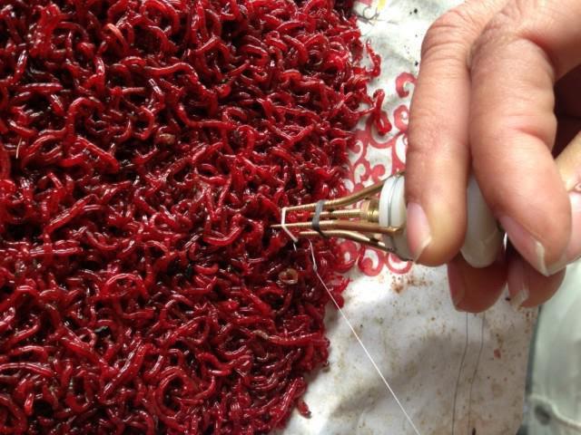 Красный мотыль чья личинка