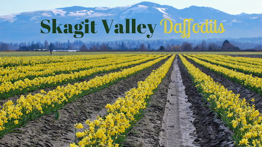 Skagit Valley Daffodils | Seattle Photo Op - Moarly Creative