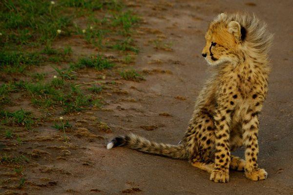 Cheetahs in the wild