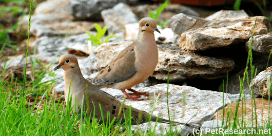 Mourning Doves and Their Young - All Our Paws