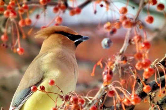 Feeding Birds | Plants that Attract Birds | Berries for Birds