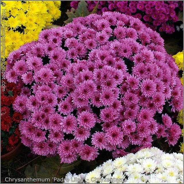 Chrysanthemum 'Padre Lilac' - Chryzantema 'Padre Lilac'