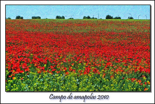 Campo de amapolas 2010