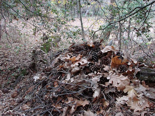 woodrat midden