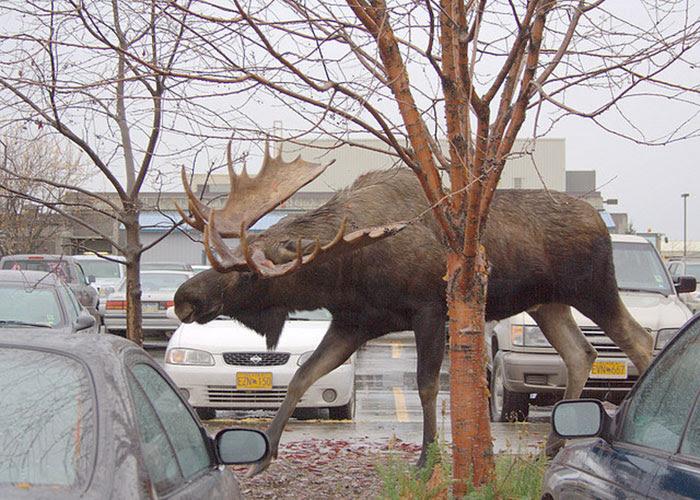 19 - A Moose