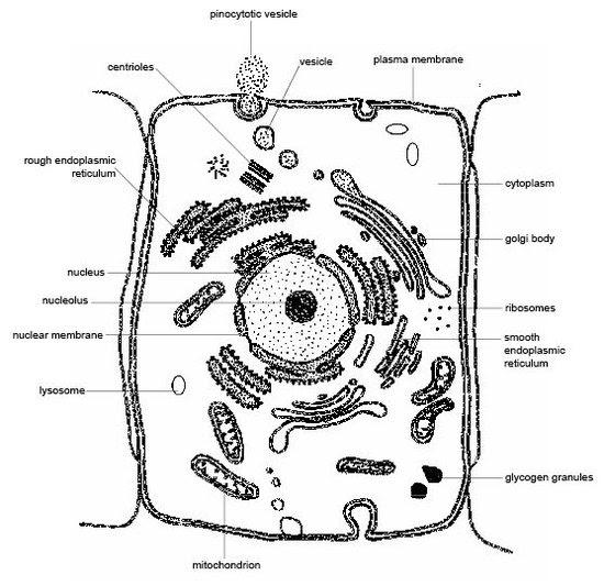 Alison gallery animal cell diagram grade 8 simple animal cell diagram ccuart Gallery