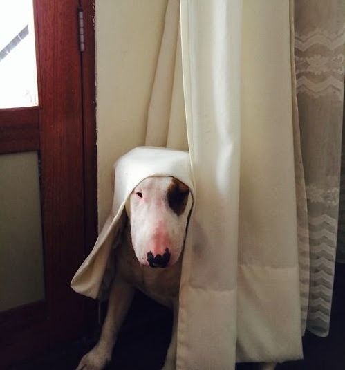 Bull Terrier looking out