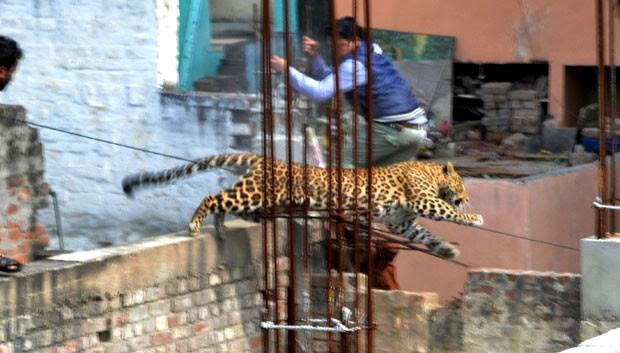 Leopardo que foi visto em área residencial tenta escapar de agentes na cidade indiana de Meerut (Foto: STR/AFP)